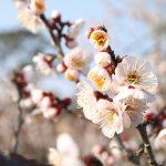 筑波山梅まつりの日程、見頃、開花状況、会場場所、アクセス、観光名所
