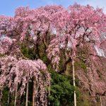 三春滝桜2019開花満開予想!見頃時期や花見場所、夜桜ライトアップ時間