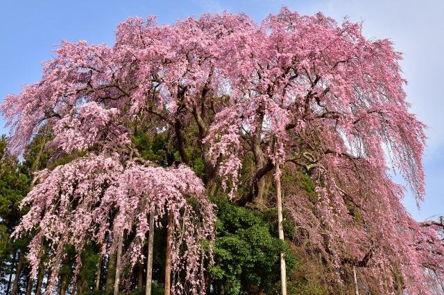 三春滝桜2020開花満開予想!見頃時期や花見場所、夜桜ライトアップ時間
