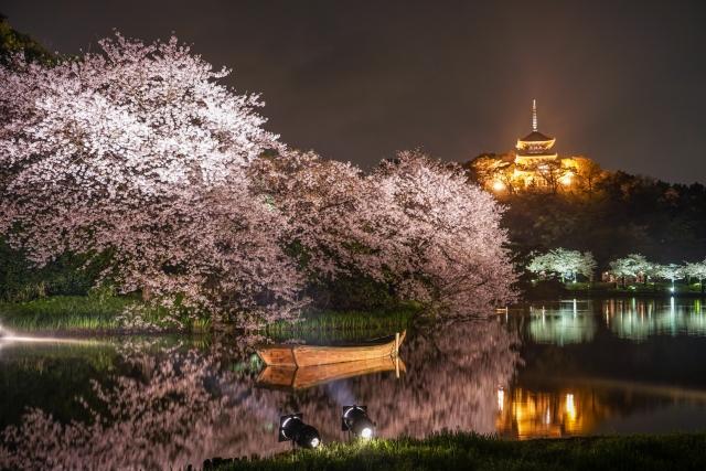 三渓園の桜2020開花満開予想!見頃時期やライトアップの時間、アクセス