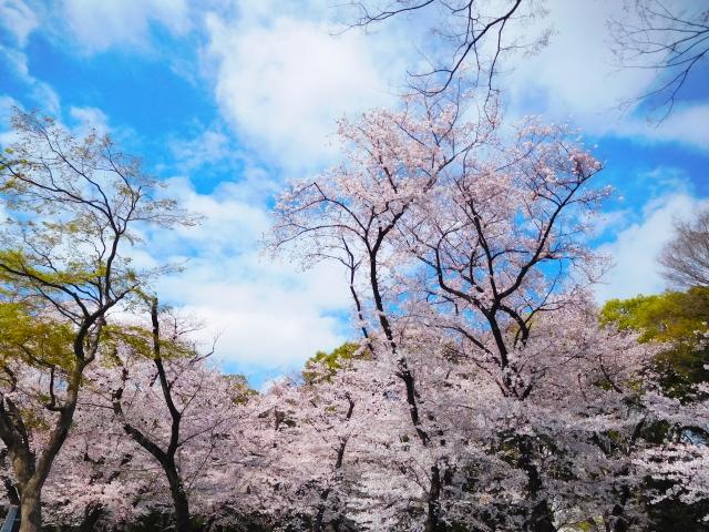 上野公園の桜祭り2020開花予想!見頃時期やおススメ花見場所、見所