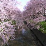 五条川の桜2018開花満開状況!見頃や屋台出店、夜桜ライトアップ、駐車場