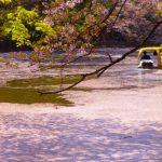 井の頭公園の桜祭り2018開花満開予想!見頃時期やおススメ花見場所