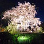 円山公園の桜2019開花満開予想!花見場所や混雑、夜桜ライトアップ時間