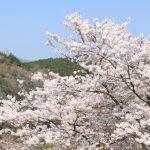 吉野山の桜2019満開開花予想!見頃時期や混雑、夜桜ライトアップ時間