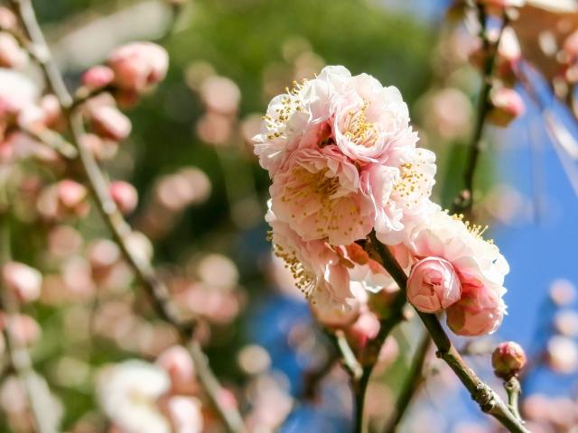 大宮公園の桜祭り2020開花満開状況!見頃や花見、ライトアップ、屋台情報