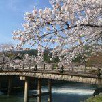 嵐山の桜祭り2018開花満開予想!見頃時期やライトアップ、駐車場情報