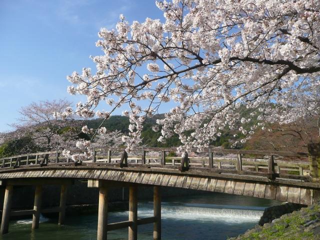 嵐山の桜祭り2020開花満開予想!見頃時期やライトアップ、駐車場情報