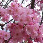 新宿御苑の桜の混雑状況と見頃時期や開花状況、アクセス、歩き方ルート