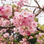 上野公園の桜祭りの混雑状況や人出は?園内の桜マップ、アクセス方法
