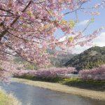 河津桜2018の見頃時期は?神奈川、横浜、三浦海岸の開花状況と場所