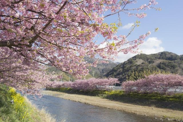 河津桜2020の見頃時期は?神奈川、横浜、三浦海岸の開花状況と場所