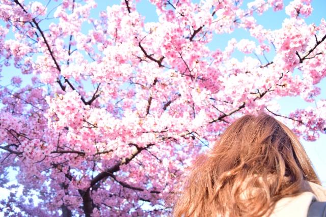 河津桜2020の見頃時期は?関東、東京都内、千葉、埼玉の開花状況と場所