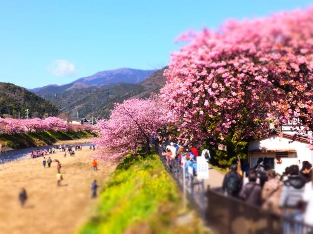 河津桜2020の見頃時期は?静岡、伊豆、熱海、箱根の開花状況と場所
