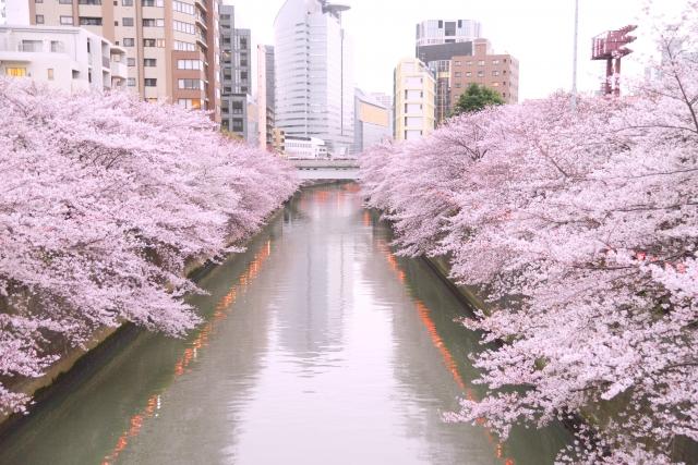 目黒川の桜まつりの混雑は?見頃時期や開花状況、アクセス、歩き方ルート