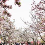 造幣局 桜の通り抜け2018の混雑状況や駐車場の場所、アクセス行き方