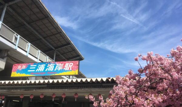 三浦海岸の河津桜の見頃は?開花状況や地図、場所、アクセス、駐車場