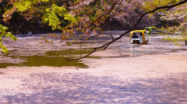 井の頭公園の桜祭り2020開花満開予想!見頃時期やおススメ花見場所