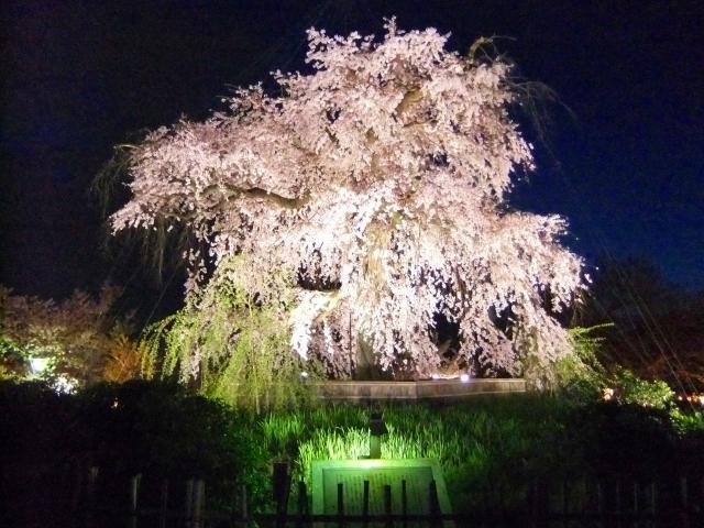 円山公園の桜2020開花満開予想!花見場所や混雑、夜桜ライトアップ時間