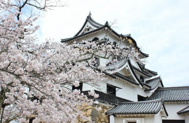 彦根城桜まつり2019開花満開予想!見頃時期や混雑、夜桜ライトアップ時間