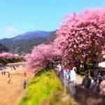 河津桜2018の見頃時期は?静岡、伊豆、熱海、箱根の開花状況と場所