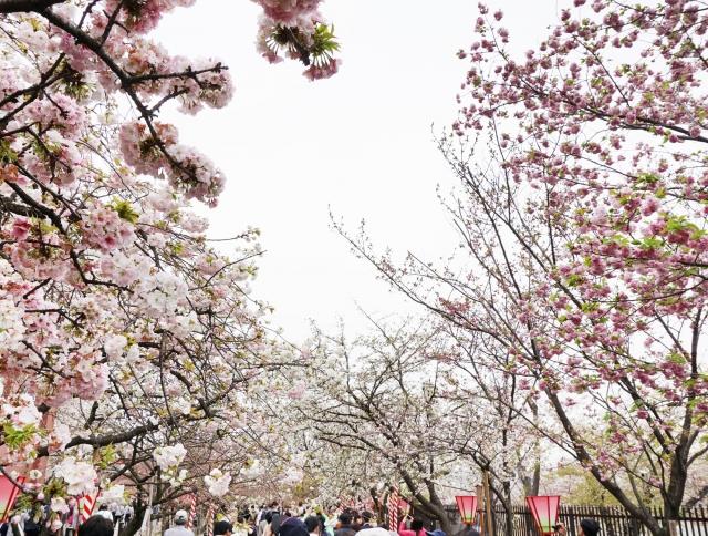 造幣局 桜の通り抜け2020の混雑状況や駐車場の場所、アクセス行き方