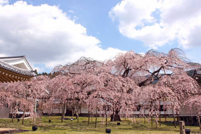 醍醐寺の桜祭り2020混雑状況や開花満開予想!見頃時期とライトアップ