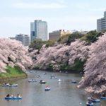 千鳥ヶ淵の桜2019開花満開状況!見頃と花見、混雑、夜桜ライトアップ