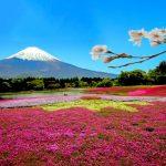 富士芝桜まつり2018開花満開状況!見頃時期や混雑渋滞、駐車場の場所