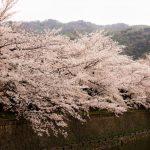 岡崎公園桜まつり2018開花満開状況!見頃と花見、屋台出店、夜桜ライトアップ