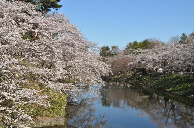 弘前さくらまつり2020開花満開状況!見頃や混雑渋滞、夜桜ライトアップ