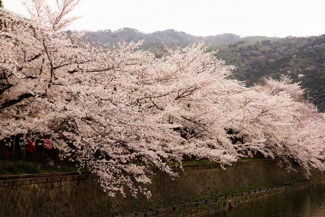 岡崎公園桜まつり2020開花満開状況!見頃と花見、屋台出店、夜桜ライトアップ