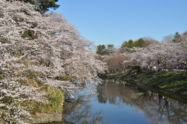 弘前さくらまつり2019開花満開状況!見頃や混雑渋滞、夜桜ライトアップ