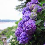 長谷寺のあじさい2018開花満開状況!見頃や混雑、待ち時間、口コミ評判