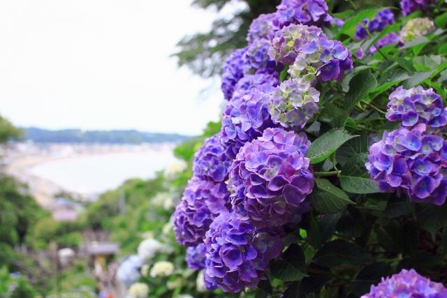 長谷寺のあじさい2019開花満開状況!見頃や混雑、待ち時間、口コミ評判